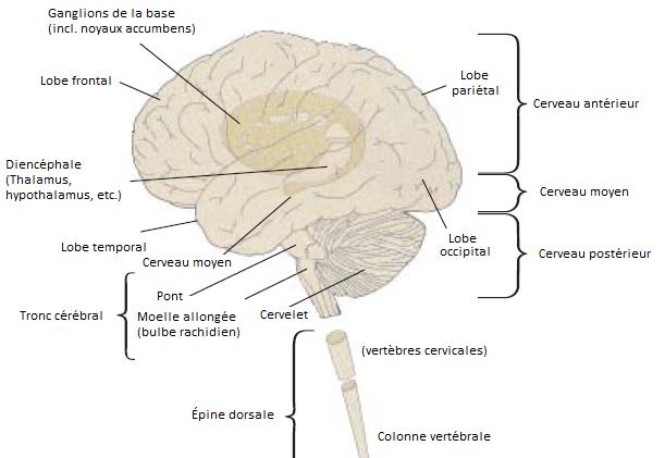 18 - Cerveau complet - Copie