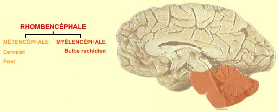 20 - McGill - Cerveau post - Rhombencéphale