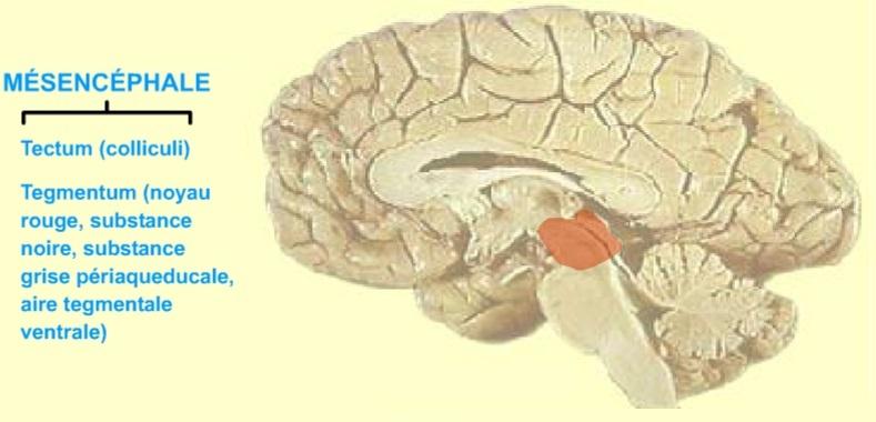 22 - McGill - Cerveau moyen - Mésencéphale