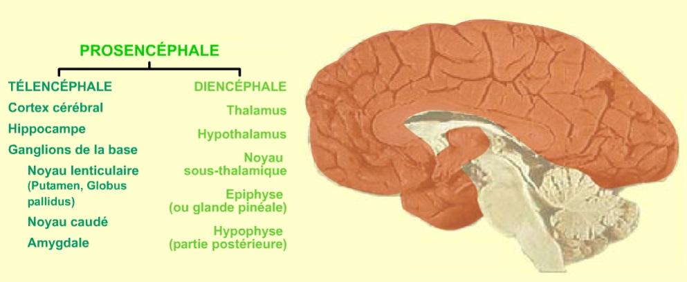 24 - McGill - Cerveau antérieur - Prosencéphale
